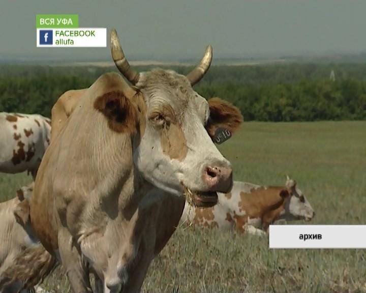 В Башкирии сохраняется мораторий на передвижение сырой животноводческой продукции
